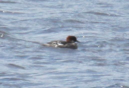 Smew, May 18, 2010, Shotgun Lake.