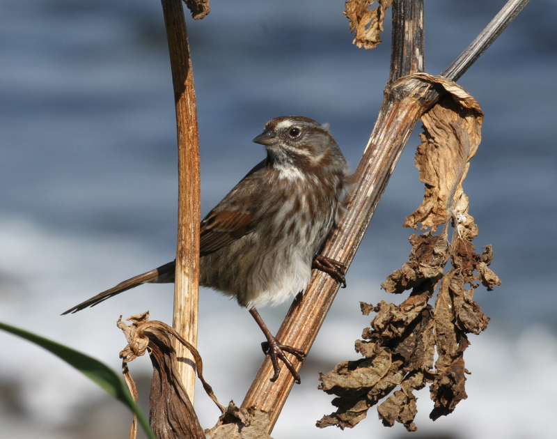 Song Sparrow, Seawall, Sept 22, 2015.