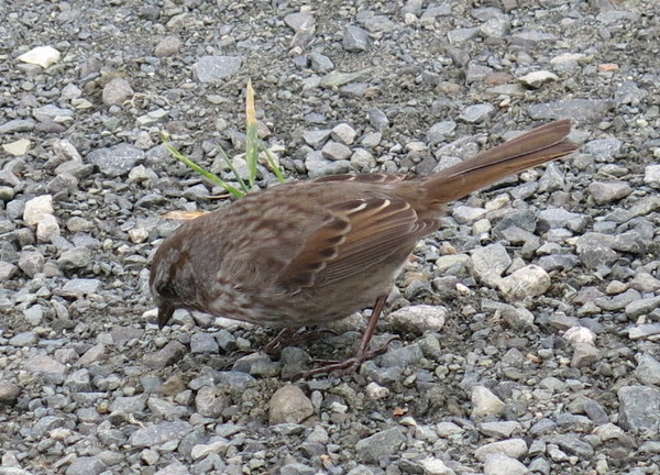 Song Sparrow, Adak National Forest, Sept 20, 2014.