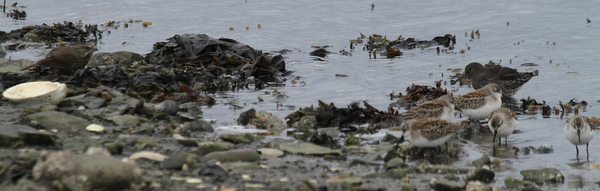 """Song Sparrow """"Songpiper"""", Western Sandpipers, Rock Sandpiper, Clam Lagoon, Sept 21, 2014."""