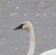 Tundra Swan, Haven Lake, May 15, 2014.