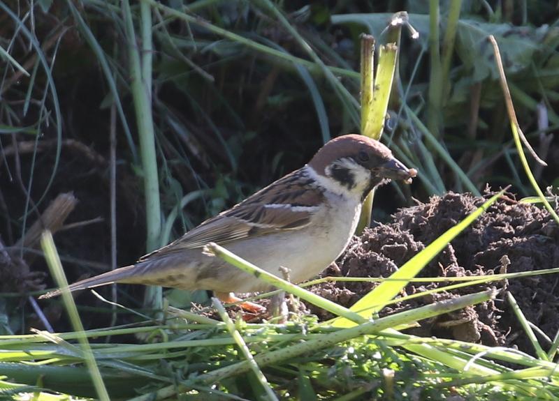 Tree Sparrow (finally!), Ramosch, Switzerland, June 28, 2016