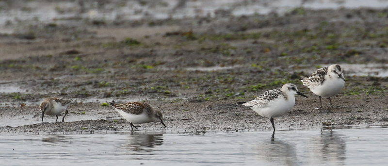 Two Western Sandpipers (left) and two Sanderlings, Clam Lagoon, September 16, 2016