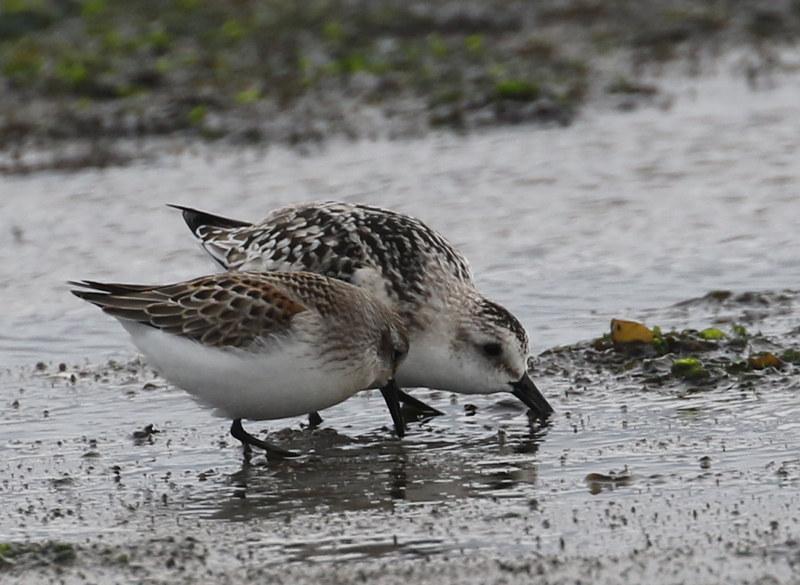 Western Sandpiper (front) and Sanderling, Clam Lagoon, September 17, 2016