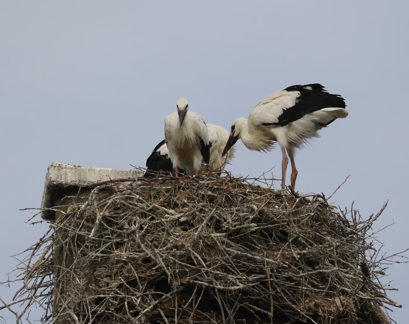 White Stork, Camargue, France, June 21, 2016