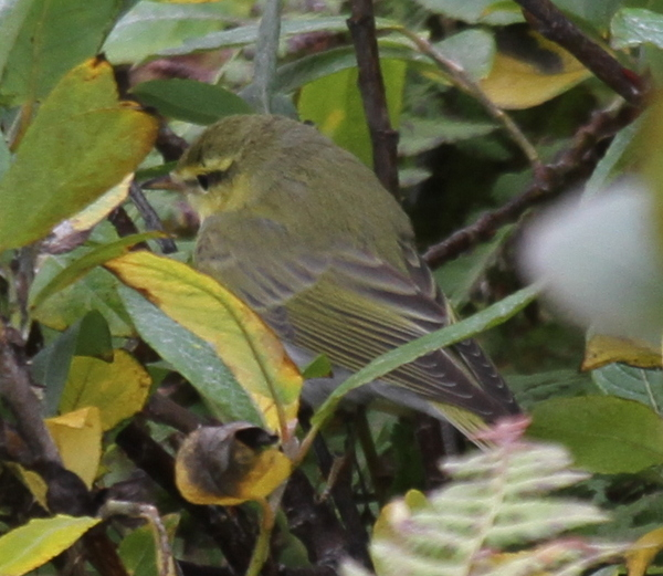 Wood Warbler, Adak, Sept 19, 2014.