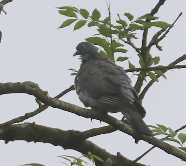 Wood Pigeon, La Sauge Nature Center, June 18, 2016