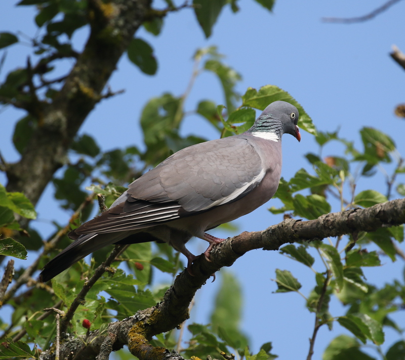 Wood Pigeon, The Dombes, France, June 25, 2016