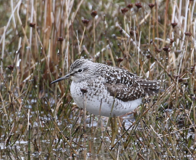 Wood Sandpiper, near the Power Plant, May 21, 2016