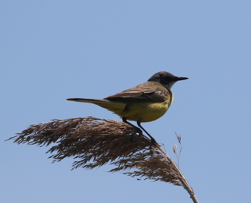 Yellow Wagtail, Camargue, France, June 21, 2016