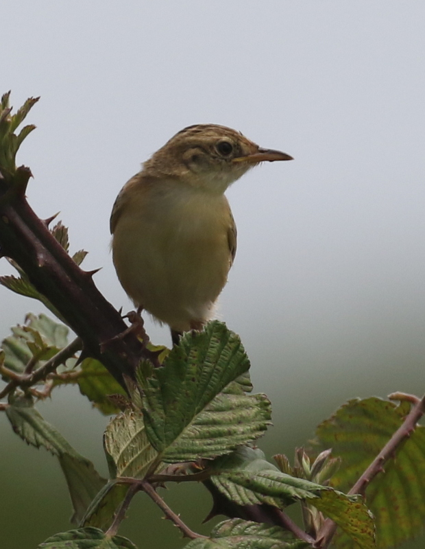 Zitting's Cisticola (Fan-tailed Warbler), Camargue, France, June 21, 2016